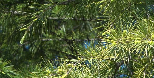 Fir Branches 09