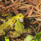 Frogs On Lake In Mating Season 2 - VideoHive Item for Sale