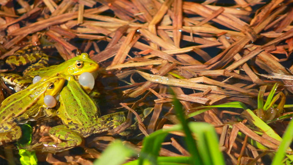 Frogs On Lake In Mating Season 2