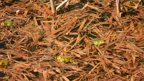 Frogs On Lake In Mating Season 1