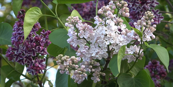 Lilac Flowers 03