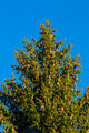 Pine tree with blue background - PhotoDune Item for Sale