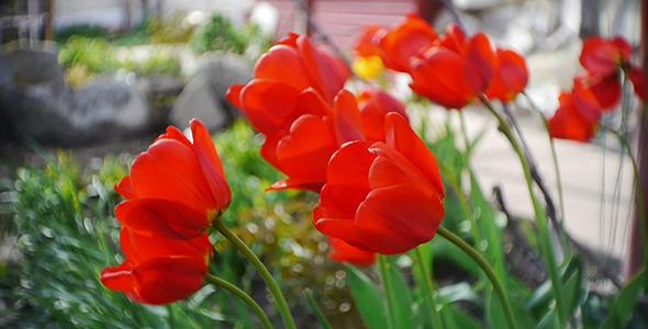Wind Shakes Tulips 10