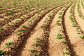 Rows of youngs potatoes - PhotoDune Item for Sale