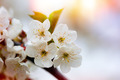 White flowers of the cherry blossoms detail - PhotoDune Item for Sale