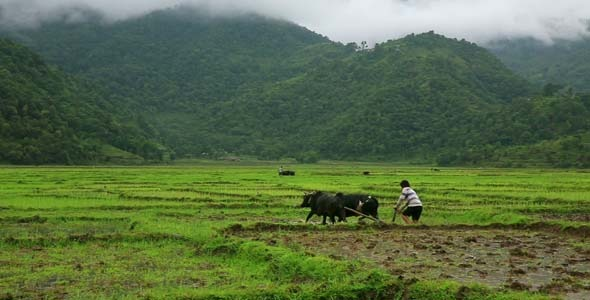 People Working In Rice Paddy 3