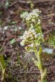Petasites albus - PhotoDune Item for Sale