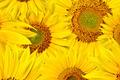 sunflower background - PhotoDune Item for Sale
