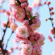 Blossom Sakura  - VideoHive Item for Sale