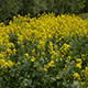 Yellow Wildflowers - VideoHive Item for Sale