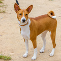 Hunting dog Basenji breed - PhotoDune Item for Sale