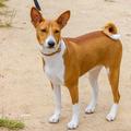 Hunting dog Basenji breed - PhotoDune Item for Sale