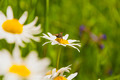 Diptera on Leucanthemum Vulgare (Oxeye Daisy, Chrysanthemum Leucanthemum) - PhotoDune Item for Sale