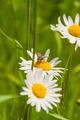 Meal on Leucanthemum Vulgare (Oxeye Daisy, Chrysanthemum Leucanthemum) - PhotoDune Item for Sale