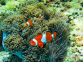 Several Clownfish in anemone - PhotoDune Item for Sale