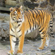 Siberian Tiger - VideoHive Item for Sale