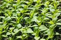 Sweet pepper seedling rows before planting - PhotoDune Item for Sale