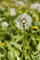 Dandelion head with seeds on the meadow - PhotoDune Item for Sale
