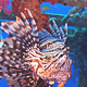 African lionfish on Shipwreck 660 - VideoHive Item for Sale