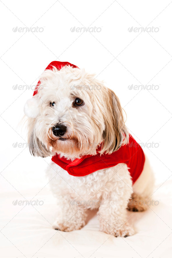 Cute dog in santa outfit - Stock Photo - Images
