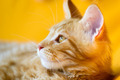 Red-white tabby Maine Coon cat - PhotoDune Item for Sale