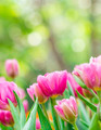 beautiful pink tulips - PhotoDune Item for Sale