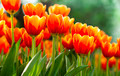 tulips flower with in garden - PhotoDune Item for Sale