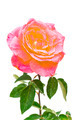 beautiful pink rose - PhotoDune Item for Sale