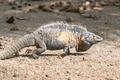 Iguana - PhotoDune Item for Sale