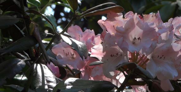 Pink Flowers Azalea Rhododendron 12