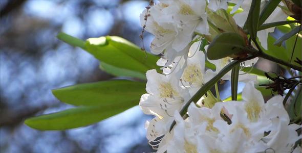 White Flowers Azalea Rhododendron 17