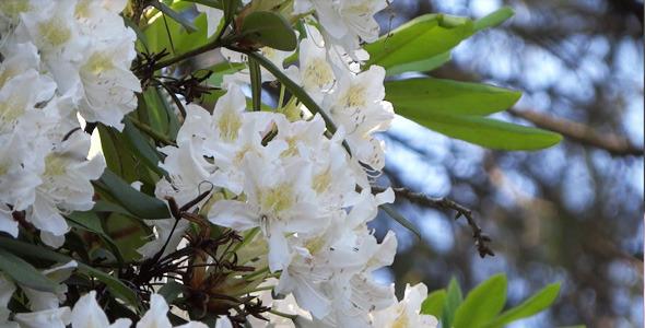 White Flowers Azalea Rhododendron 18