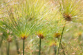 Beautiful Papyrus plants with selective focus - PhotoDune Item for Sale