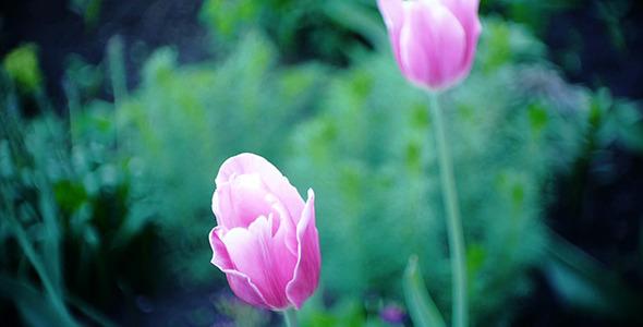 Wind Shakes Tulips 16