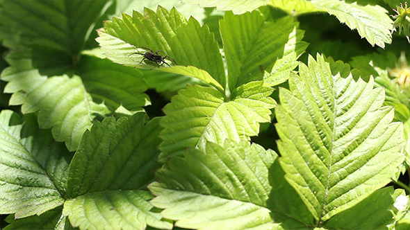 VideoHive Spider on Leaf 7811192