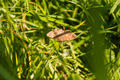 Ematurga atomaria (Linnaeus, 1758) (Common Heath) - female - PhotoDune Item for Sale