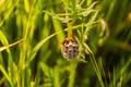 Wasp - Polistes dominula - PhotoDune Item for Sale