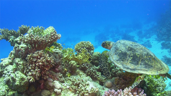 Turtle Swimming Over Coral Reef 694