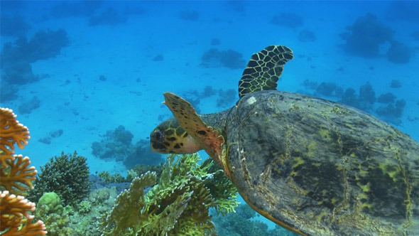 Turtle Swimming Over Coral Reef 695