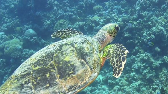 VideoHive Turtle Swimming Over Coral Reef 696 7821175