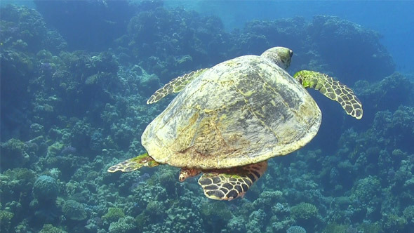 VideoHive Turtle Swimming Over Coral Reef 697 7821181