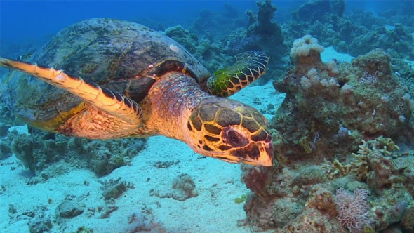 Turtle Swimming Over Coral Reef 699