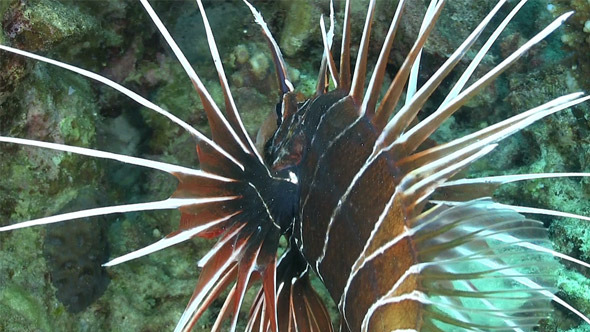 African Lionfish on Coral Reef 732
