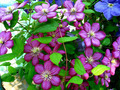 beautiful blue flowers of clematis - PhotoDune Item for Sale