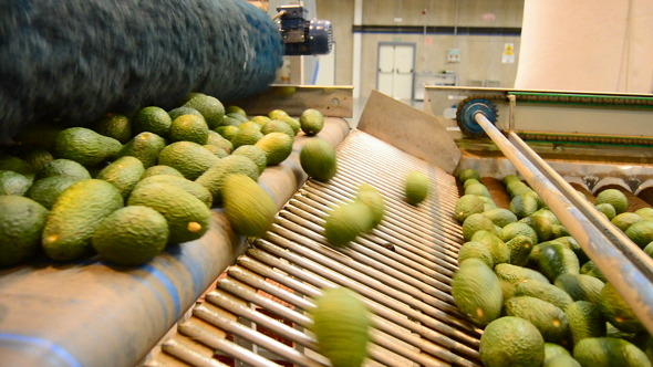 Avocados Fruit Rolling in Linepack