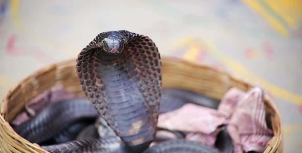 Portrait Of Cobra