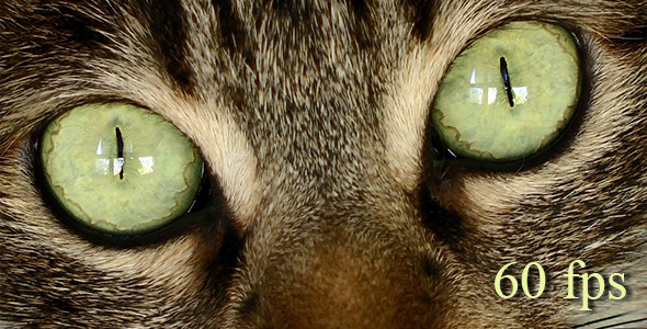 Tiger Cat Eyes 1