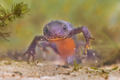 Frontal View of a Female  Alpine Newt - PhotoDune Item for Sale