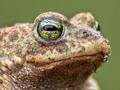 Epidalea calamita, Natterjack Toad potrait - PhotoDune Item for Sale