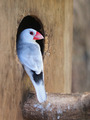 Java sparrow (Parra oryzivora) - PhotoDune Item for Sale
